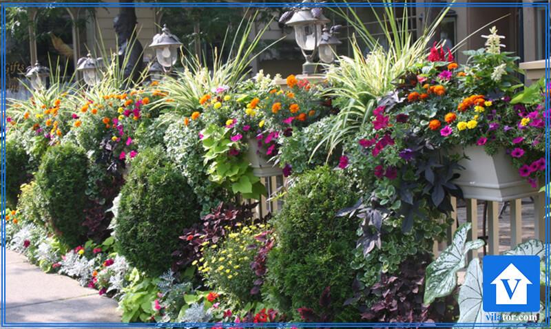 گل گیاه چهارفصل ویلاطور